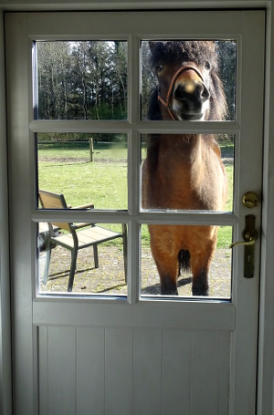 A curious horse looks through the bar window of a front door, a little down from above, out of the sunny garden in Jutland into the house. Recorded in 2017.